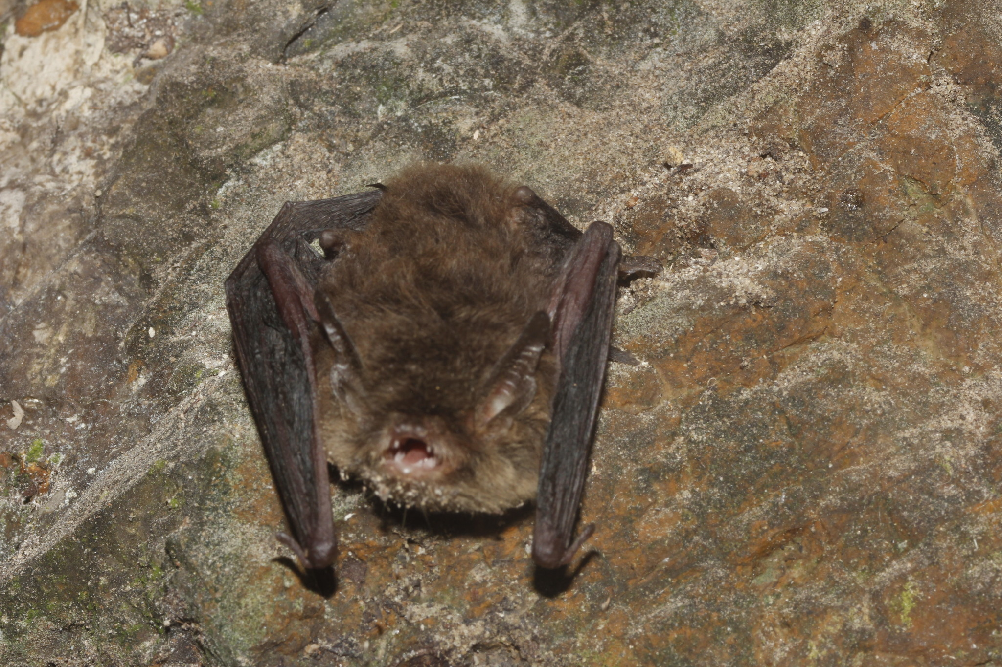Image of Findley's Myotis