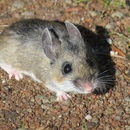 Image of Nimble-footed Deermouse