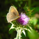 Image of Chios Meadow Brown