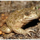 Image of Betic midwife toad