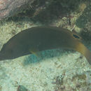 Image of Geographic wrasse