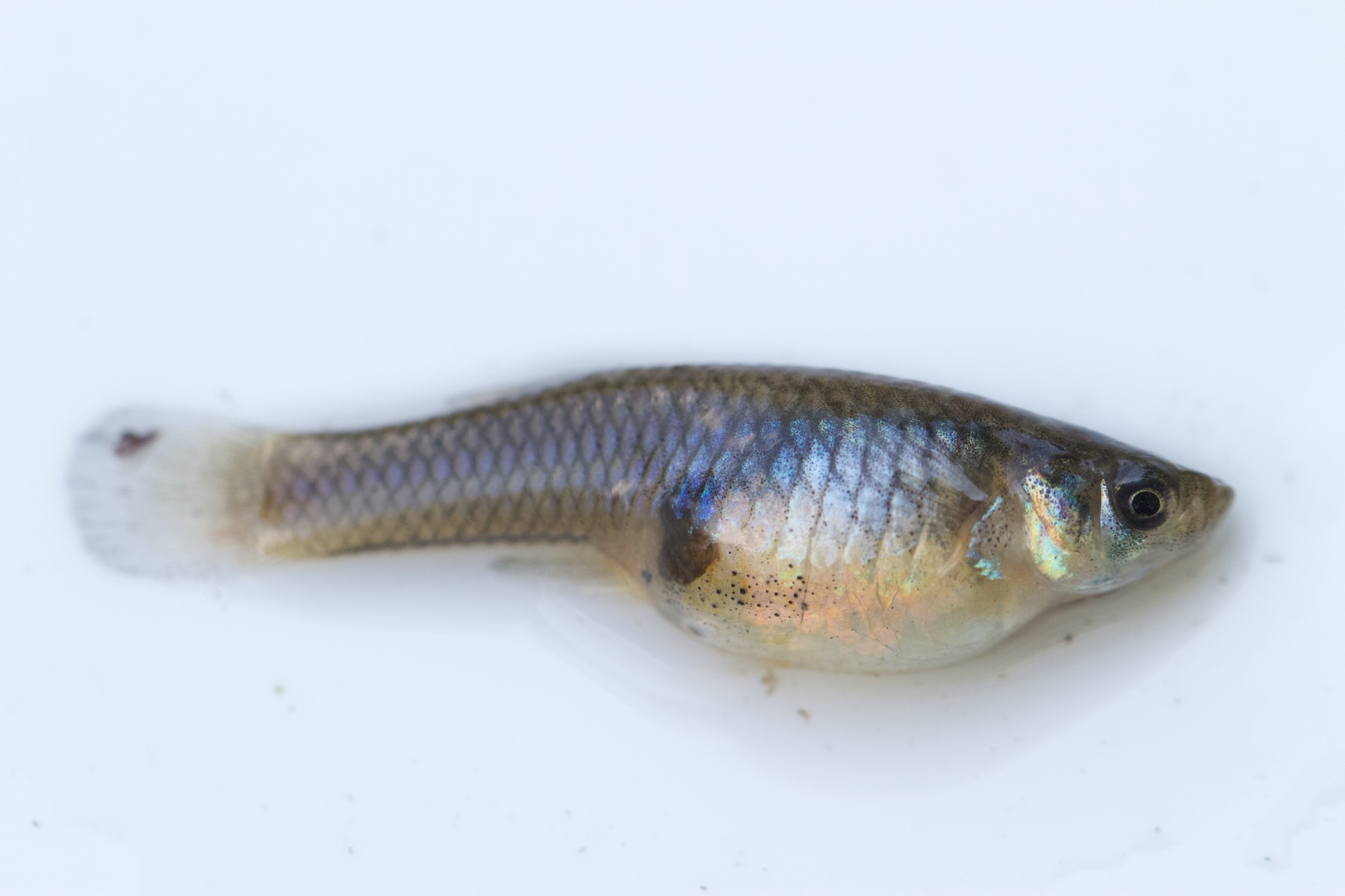 Image of Eastern Mosquitofish