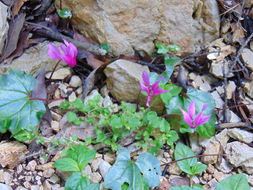 Image of <i>Cyclamen repandum</i>