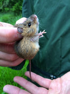 Image of Meadow Jumping Mouse
