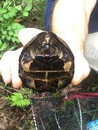 Image of Eastern Loggerhead Musk Turtle