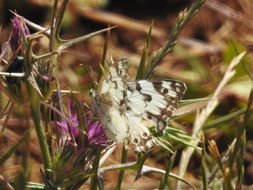Image of Levantine Marbled White