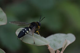 Image of Horse Guard Wasp