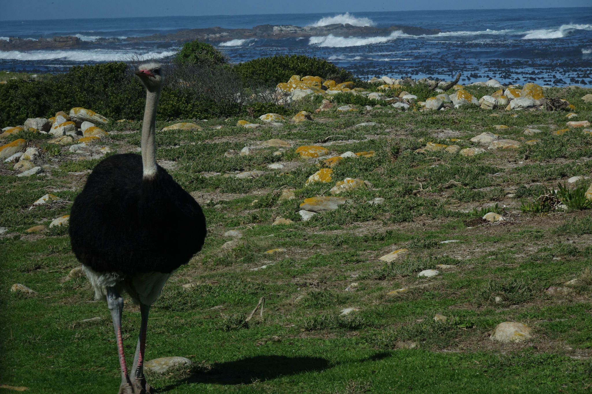Image of Southern Ostrich
