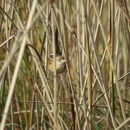 Image of Bay-capped Wren-Spinetail