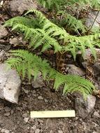 Image of hairy brackenfern