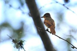 Image of Rufous Flycatcher