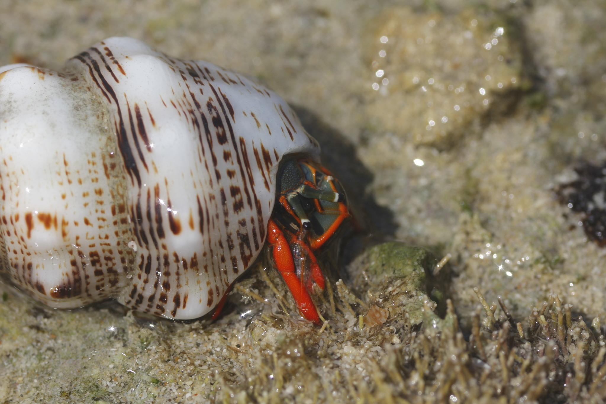 Image of <i>Calcinus californiensis</i> Bouvier 1898