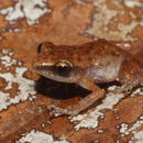 Image of Pale Chirping Frog