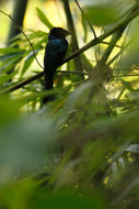 Image of Lesser Racket-tailed Drongo