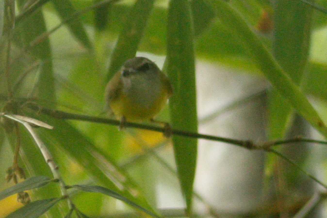 Image of Yellow-belled Warbler