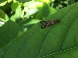 Image of Zebra Caddisfly