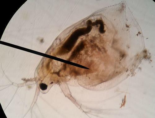 Image of Water Flea