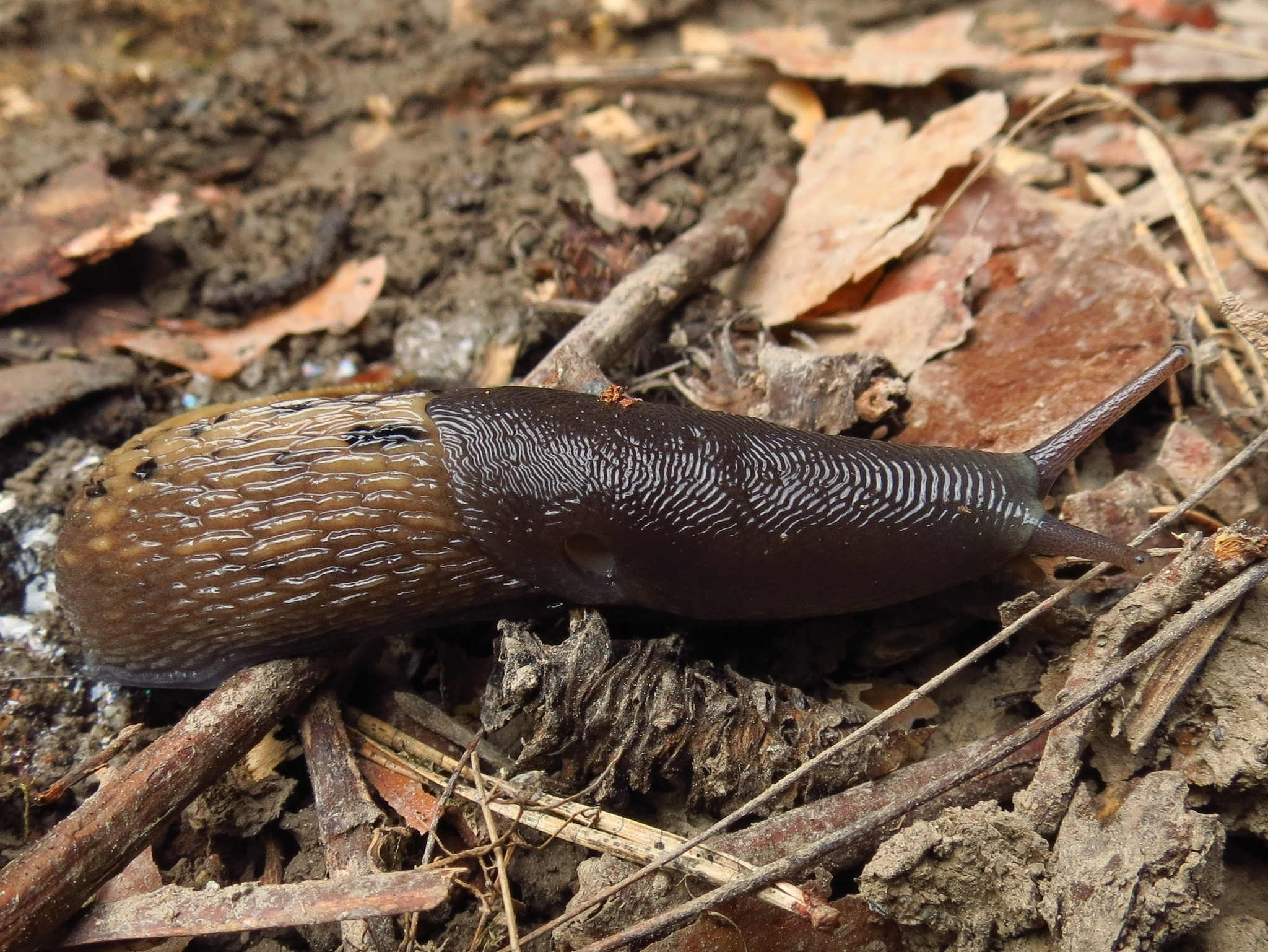 Image of <i>Limax cinereoniger</i> Wolf 1803