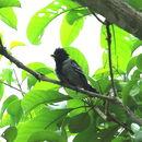 Image of Black-crested Antshrike