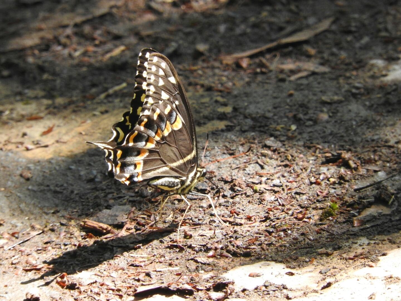 Image of <i>Papilio palamedes</i> ssp. <i>leontis</i> Rothschild & Jordan 1906