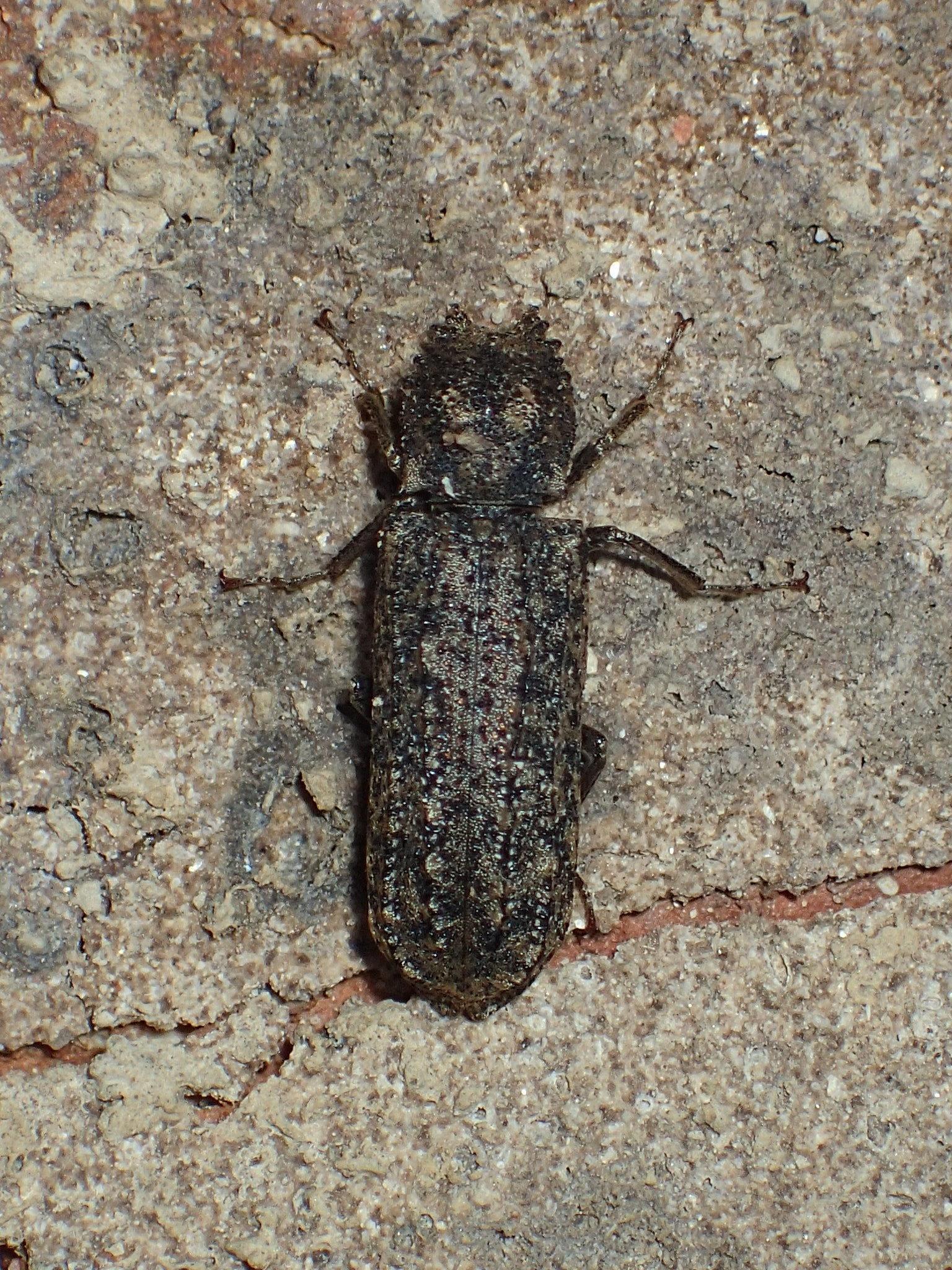 Image of <i>Lichenophanes bicornis</i> (Weber 1801)