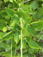 Image of <i>Jasminum fluminense</i>
