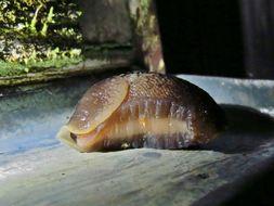 Image of ash-black slug