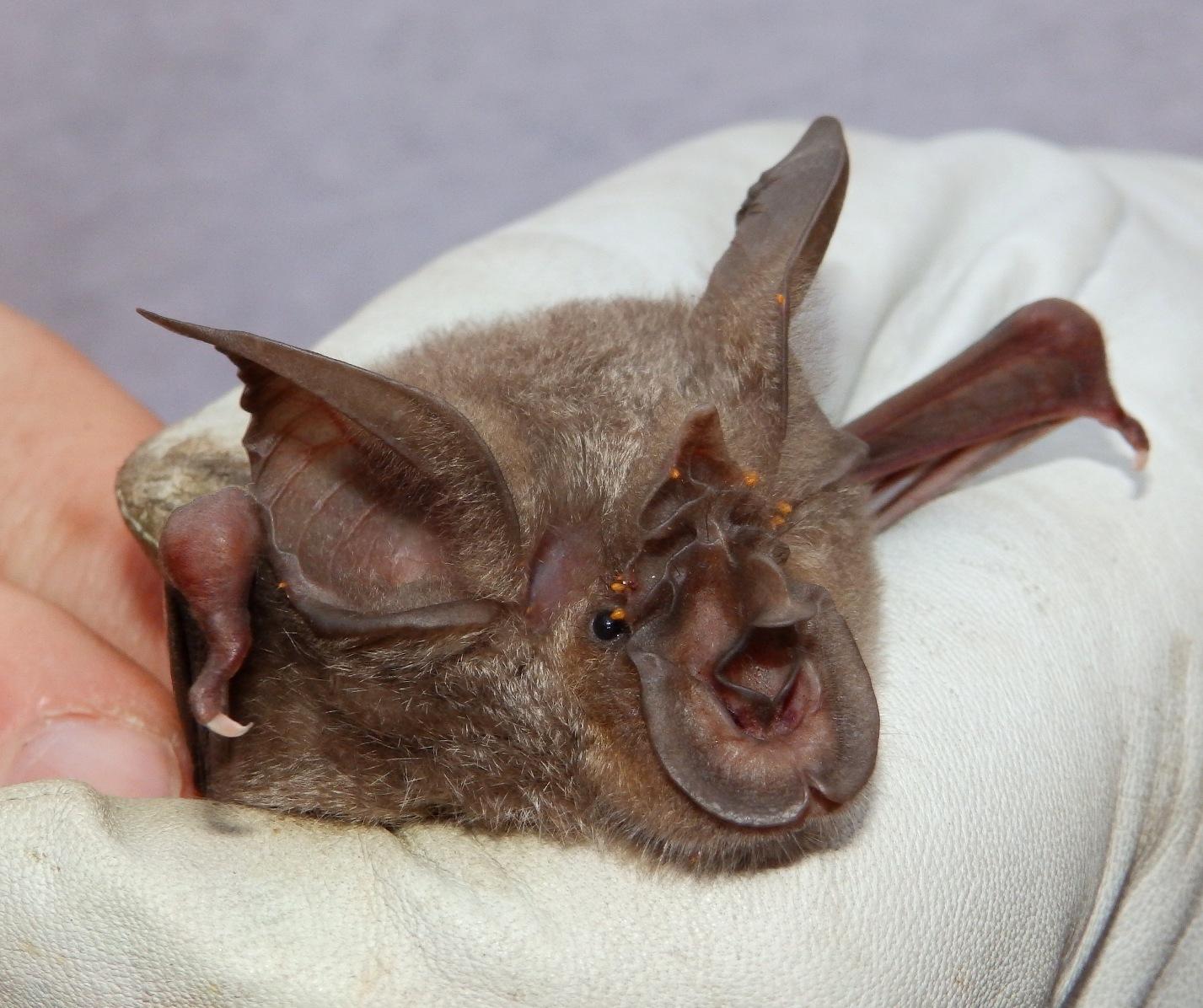 Image of Mozambican Horseshoe Bat