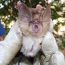 Image of Bushveld Horseshoe Bat