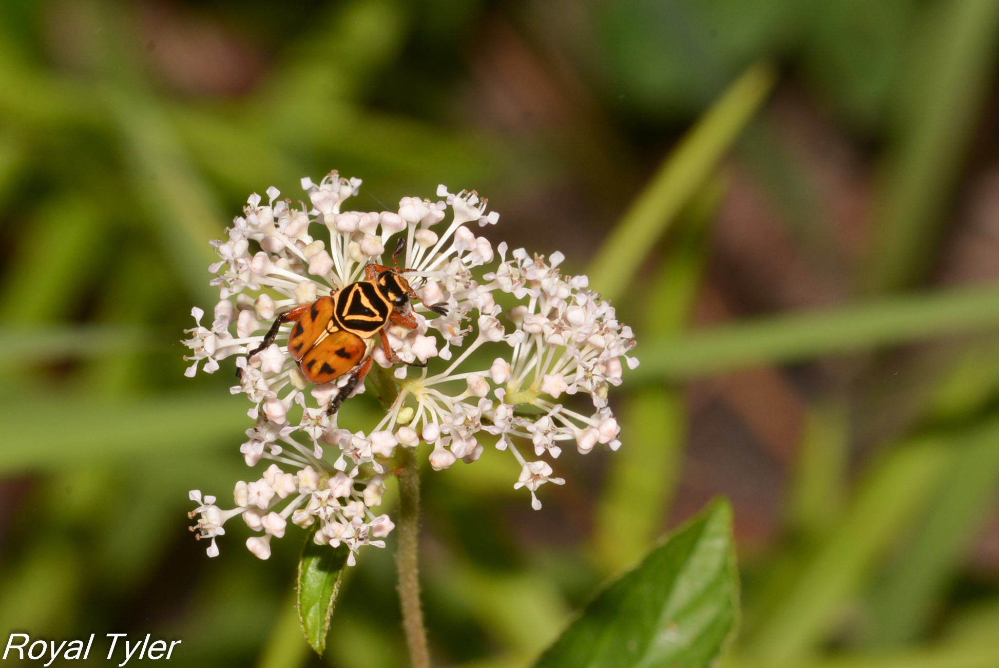 Image of Delta Flower Scarab