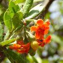 Image of <i>Bonellia macrocarpa pungens</i>