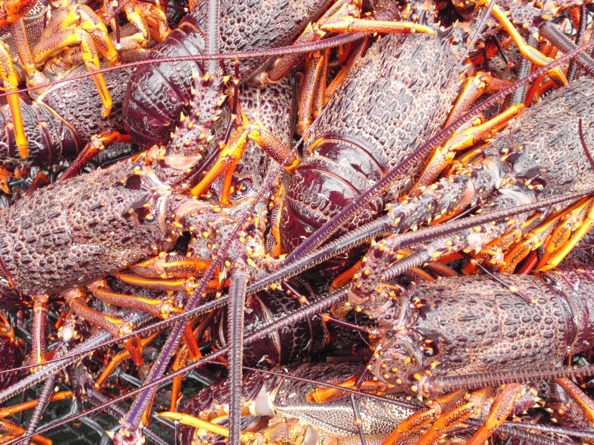 Image of Red Rock Lobster