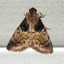 Image of <i>Orthaga thyrisalis</i>