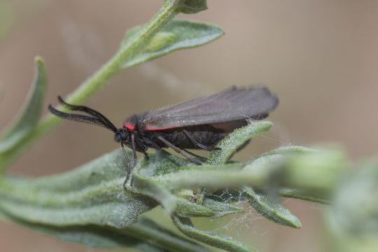 Image of almond leaf skeletonizer moth