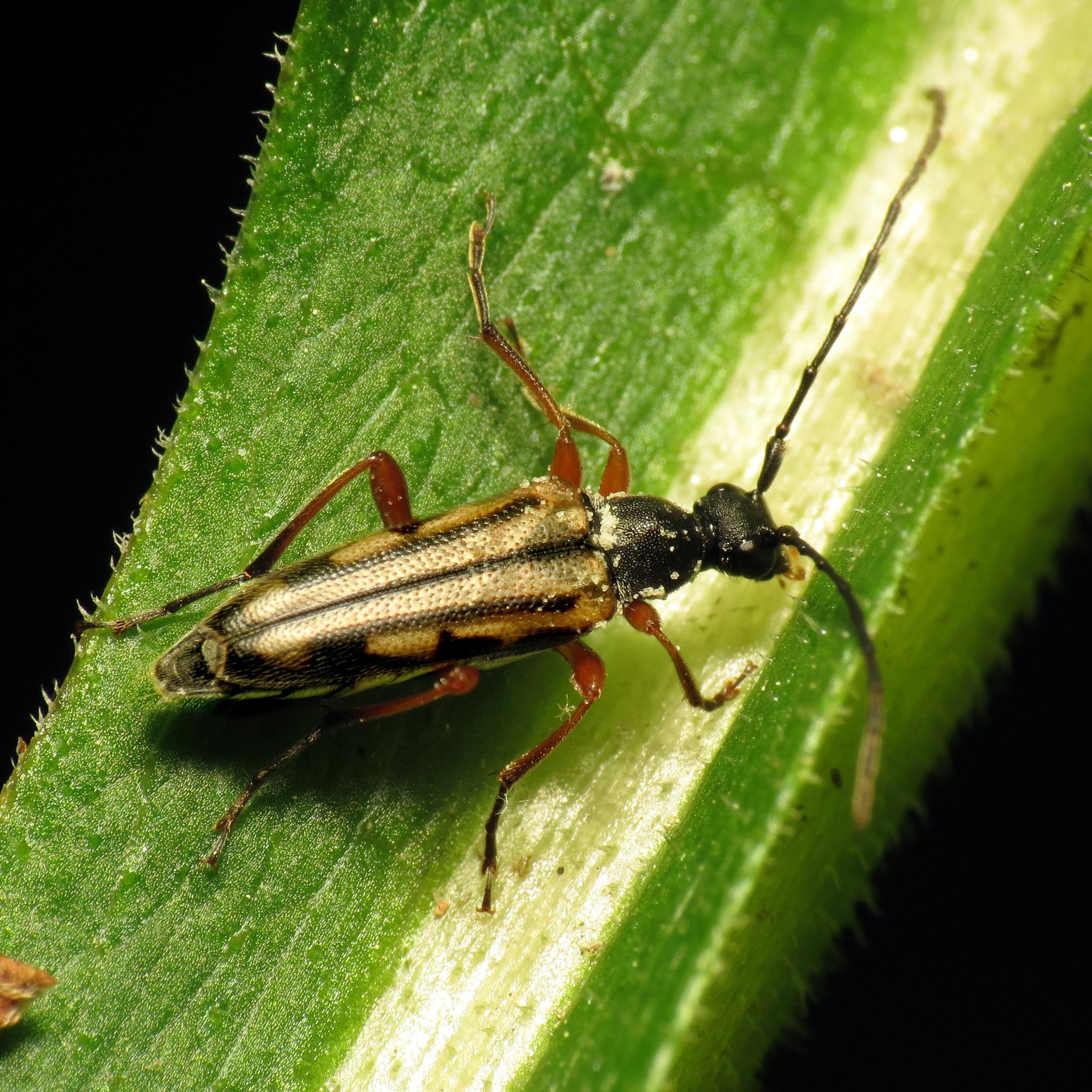 Image of <i>Analeptura lineola</i> (Say 1824)