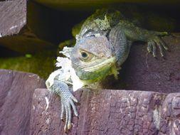 Image of Collared iguana