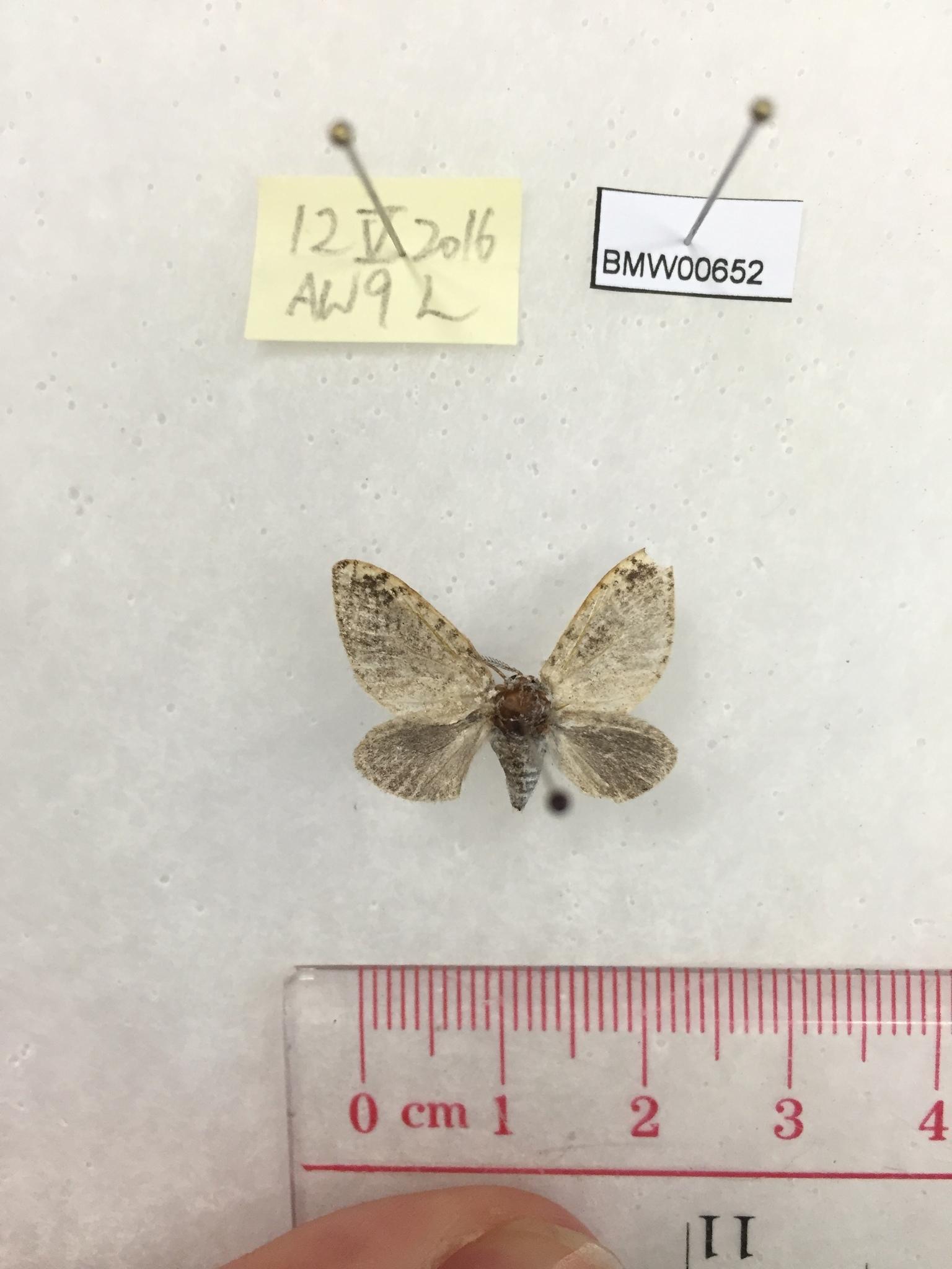 Image of <i>Fulgoraecia bowringii</i> Newman 1851