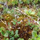 Image of <i>Thalictrum alpinum</i>