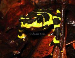 Image of Veragoa stubfoot toad