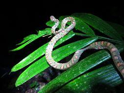 Image of Stejneger's Snail Sucker