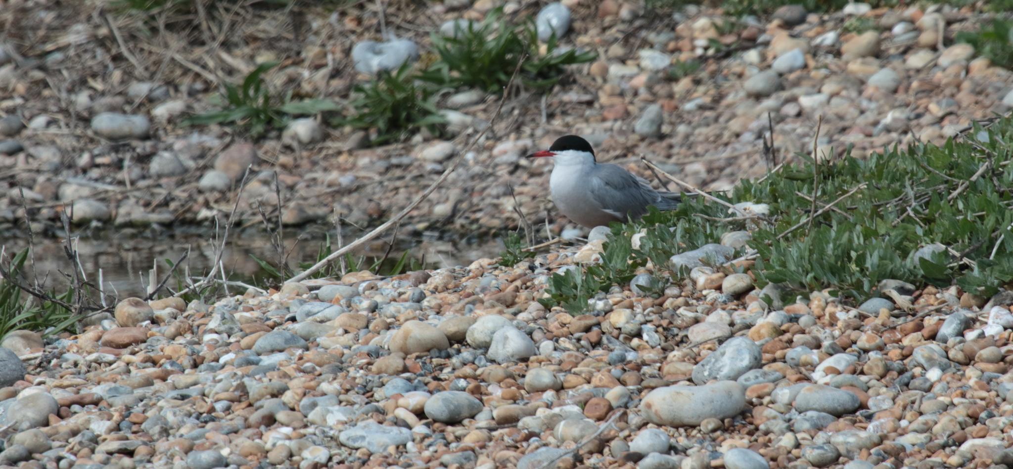 Image of Common tern
