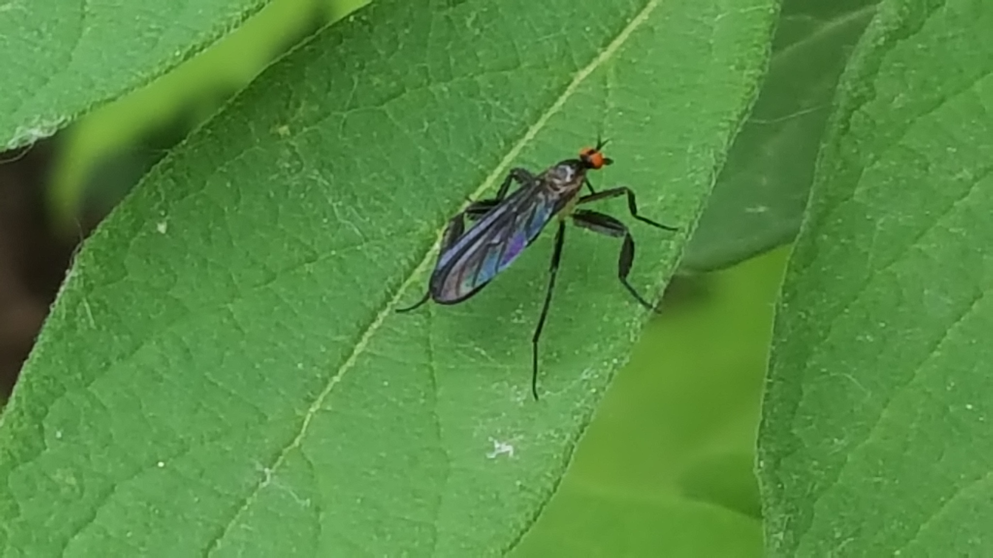 Image of Long-tailed Dance Fly