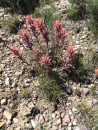 Image of <i>Castilleja <i>angustifolia</i></i> angustifolia