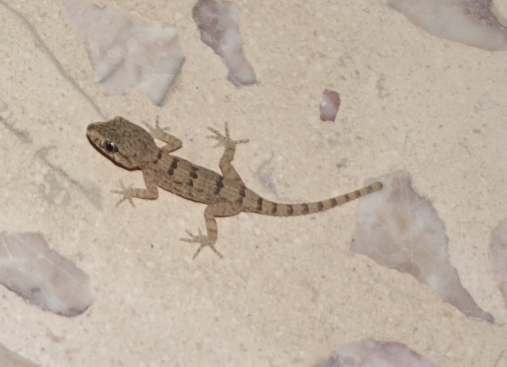 Image of <i>Trachydactylus hajarensis</i> (Arnold 1980)