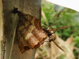 Image of <i>Mischocyttarus <i>mexicanus</i></i> ssp. mexicanus