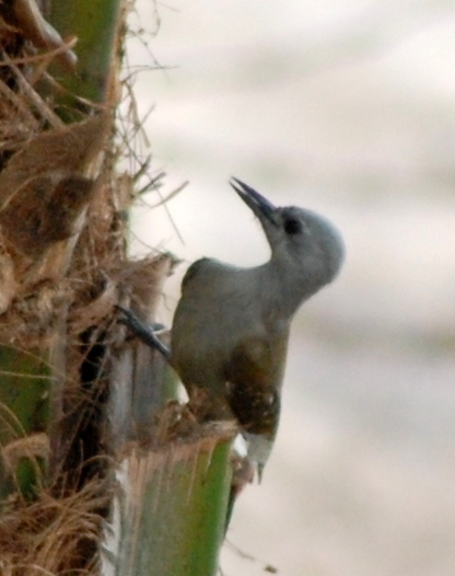 Image of African Gray Woodpecker