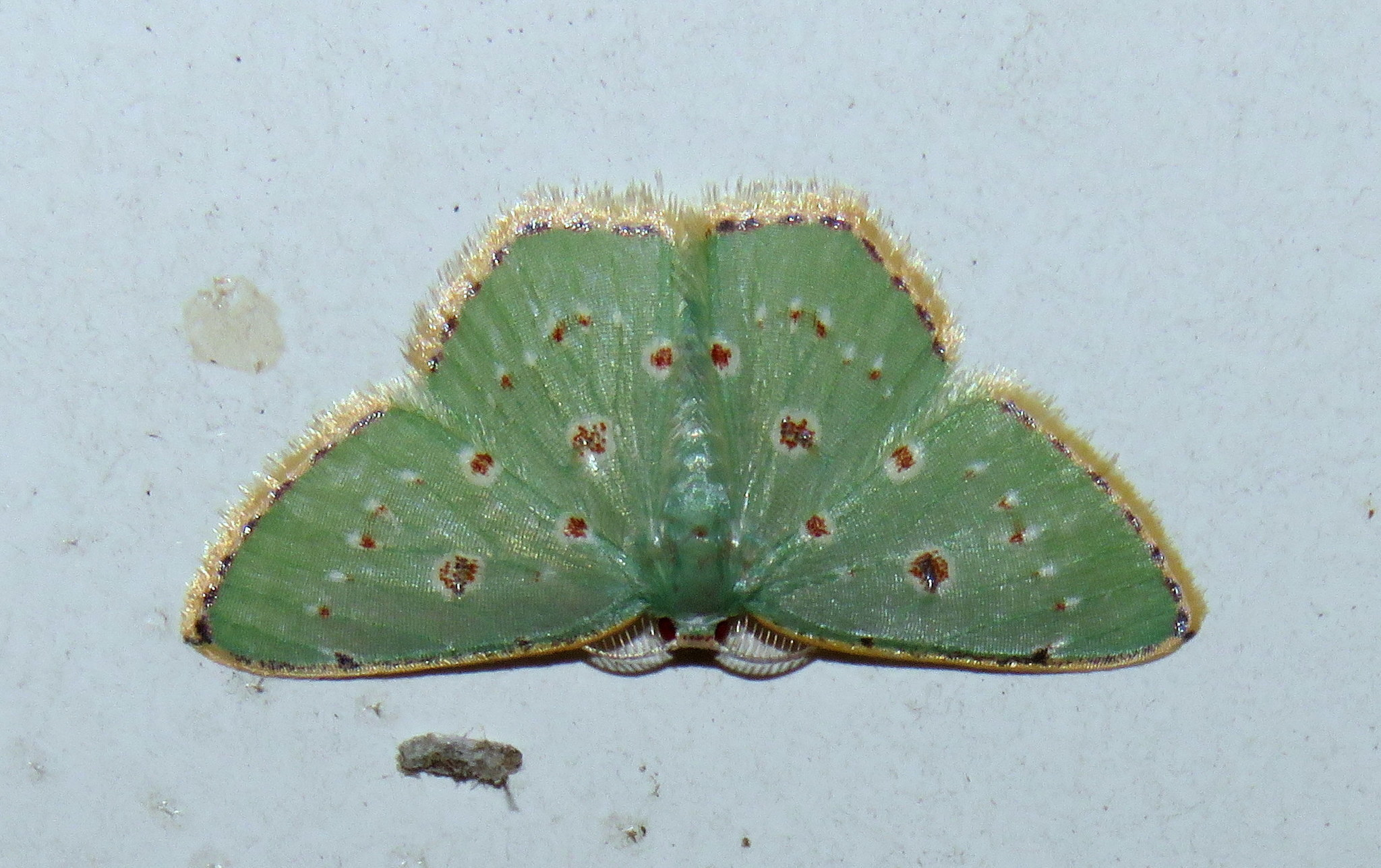Image of <i>Comostola laesaria</i> Walker 1861