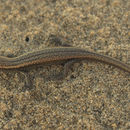 Image of Speckled Skink