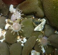 Image of cryptic burrowing anemone