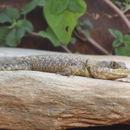 Image of Peters' Lava Lizard